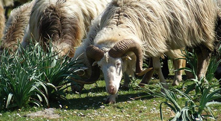 Sardinian sheeps on the top of the giara